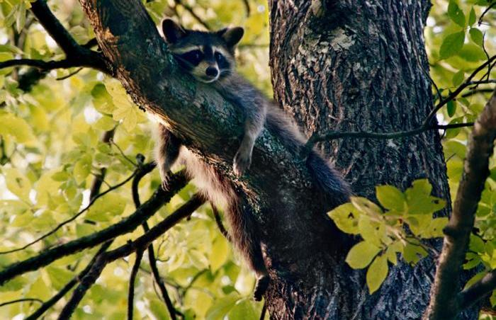 Relaxing Racoon